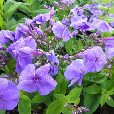 Phlox paniculata 'Purple FLAME' -