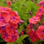 Vlambloem, floks - Phlox paniculata 'Red FLAME'