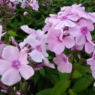 Phlox paniculata 'Rosa Pastel' - Vlambloem, floks - Phlox paniculata 'Rosa Pastel'