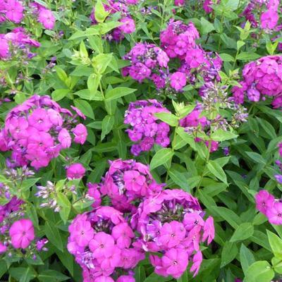 Phlox paniculata 'The King' - Vlambloem, floks - Phlox paniculata 'The King'