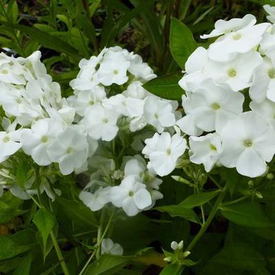 Phlox paniculata 'White Admiral' - Vlambloem, floks - Phlox paniculata 'White Admiral'