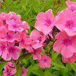 Phlox paniculata 'Windsor' - Floks, vlambloem - Phlox paniculata 'Windsor'