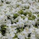 Phlox subulata 'Calvides White' - Kruipphlox - Phlox subulata 'Calvides White'
