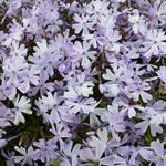 Kruipphlox - Phlox subulata 'Emerald Cushion Blue'