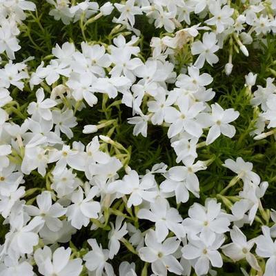 Phlox subulata 'White Delight' - Kruipphlox - Phlox subulata 'White Delight'