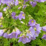 Polemonium caeruleum 'Lambrook Mauve' - Jacobsladder - Polemonium caeruleum 'Lambrook Mauve'