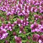 Prunella x webbiana 'Gruss aus Isernhagen' - Prunella x webbiana 'Gruss aus Isernhagen' - Bijenkorfje/Heelkruid