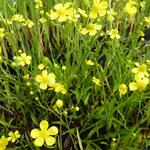 Ranunculus flammula - Egelboterbloem - Ranunculus flammula
