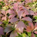 Rodgersia podophylla 'Braunlaub' - Kijkblad, Schout bij Nacht - Rodgersia podophylla 'Braunlaub'