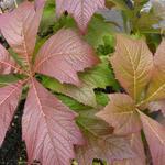 Rodgersia podophylla 'Rotlaub' - Kijkblad, Schout bij Nacht - Rodgersia podophylla 'Rotlaub'