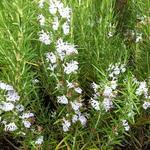 Rosmarinus officinalis f. albiflorus - Rozemarijn - Rosmarinus officinalis f. albiflorus