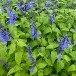 Salie - Salvia coerulea 'Black and Blue'