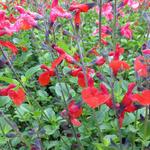 Salvia 'Royal Bumble' - Salie - Salvia 'Royal Bumble'