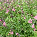 Salvia x jamensis 'La Siesta' - Salvia x jamensis 'La Siesta' - Salie