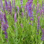Salie - Salvia nemorosa