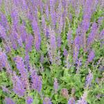 Salie - Salvia x sylvestris 'Mainacht'