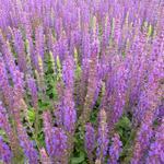 Salie - Salvia nemorosa 'Ostfriesland'