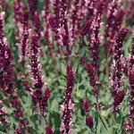 Salie - Salvia nemorosa 'Rose Queen'