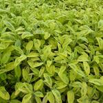 Salvia officinalis 'Aurea' - Echte salie/keukensalie - Salvia officinalis 'Aurea'