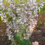 Scharlei, Muskaatsalie - Salvia sclarea