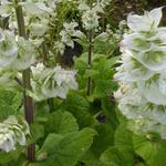 Salvia sclarea 'Vatican White' - Scharlei - Salvia sclarea 'Vatican White'