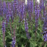 Salvia x sylvestris 'Dear Anja' - Salie - Salvia x sylvestris 'Dear Anja'