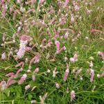 Sanguisorba 'Pink Brushes' - Pimpernel - Sanguisorba 'Pink Brushes'