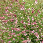 Sanguisorba officinalis ' Pink Tanna' - Pimpernel - Sanguisorba officinalis ' Pink Tanna'