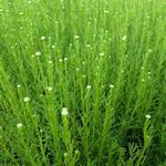 Heiligenbloem / cypressenkruid, olijvenkruid - Santolina rosmarinifolia