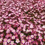 Steenbreek - Saxifraga x arendsii 'Pixie Pink'