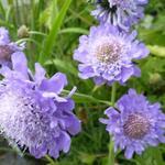 Scabiosa japonica var. alpina - Duifkruid - Scabiosa japonica var. alpina