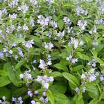 Scutellaria incana - Glidkruid - Scutellaria incana