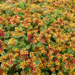 Russische Muurpeper - Sedum kamtschaticum 'Variegatum'