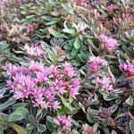 Sedum spurium 'Variegatum' - Kaukasische muurpeper, roze vetkruid - Sedum spurium 'Variegatum'