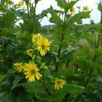 Zonnekroon - Silphium perfoliatum
