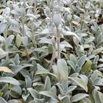 Andoorn, ezelsoren, bereoren - Stachys byzantina 'Cotton Boll'