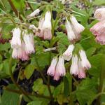 Symphytum grandiflorum 'Hidcote Pink' - Smeerwortel - Symphytum grandiflorum 'Hidcote Pink'