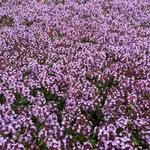 tijm / looptijm - Thymus 'Doone Valley'