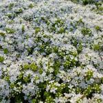Kruiptijm - Thymus praecox 'Albiflorus'