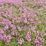Thymus praecox 'Coccineus'  - Kruiptijm - Thymus praecox 'Coccineus'