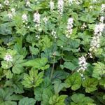 Schuimbloem/Perzische muts - Tiarella cordifolia 'Running Tiger'