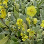 Toorts - Verbascum bombyciferum 'Polarsommer'