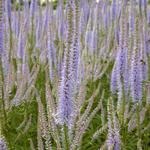Virginische ereprijs - Veronicastrum virginicum 'Lavendelturm'