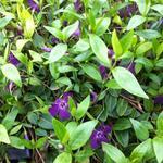 Kleine maagdenpalm - Vinca minor 'Atropurpurea'