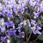 Viola labradorica - Viooltje - Viola labradorica