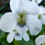 Viola odorata 'Alba' - Maarts viooltje - Viola odorata 'Alba'