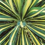 Yucca filamentosa 'Color Guard' - Palmlelie - Yucca filamentosa 'Color Guard'