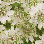 Astrantia major 'Star Of Billion' - Zeeuws knoopje - Astrantia major 'Star Of Billion'