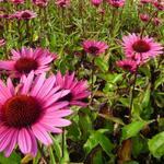Zonnehoed - Echinacea purpurea 'Fatal Attraction'