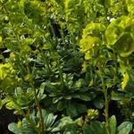 Amandelwolfsmelk - Euphorbia amygdaloides var. robbiae